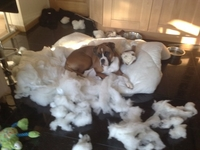 Shelly's Boxer eats his bed - again!!